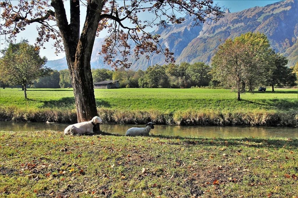 Élever des moutons avec un espace ombragé