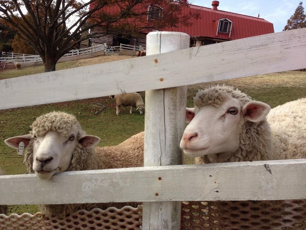 Élever des moutons dans un espace clôturé