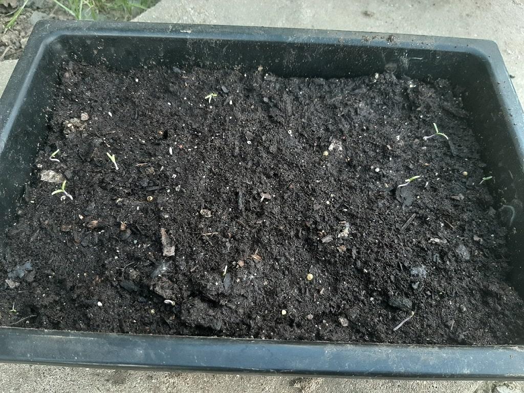 Faire germer des graines de tomates dans du terreau