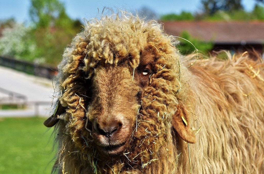 Mouton pour la laine
