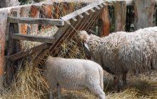 10 conseils Pour Elever des Moutons Facilement
