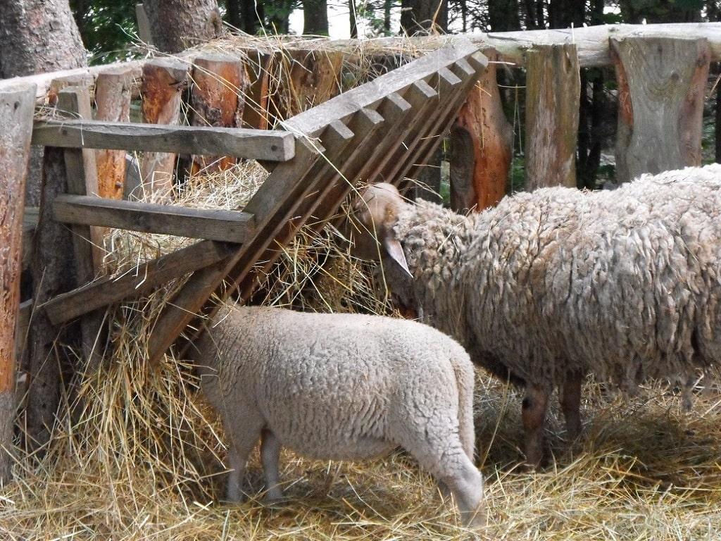 Moutons qui mangent du foin