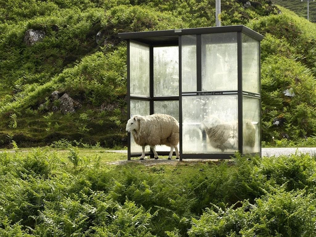 Moutons sous un abris de bus