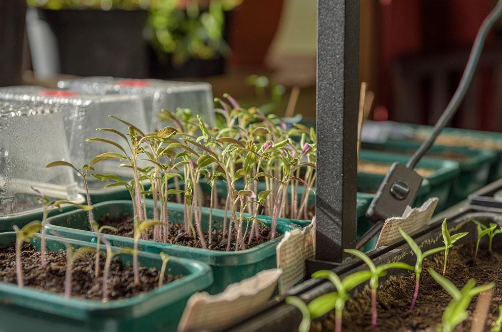 Repiquer les plants de tomate