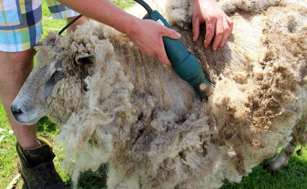 Tonte de la laine du mouton