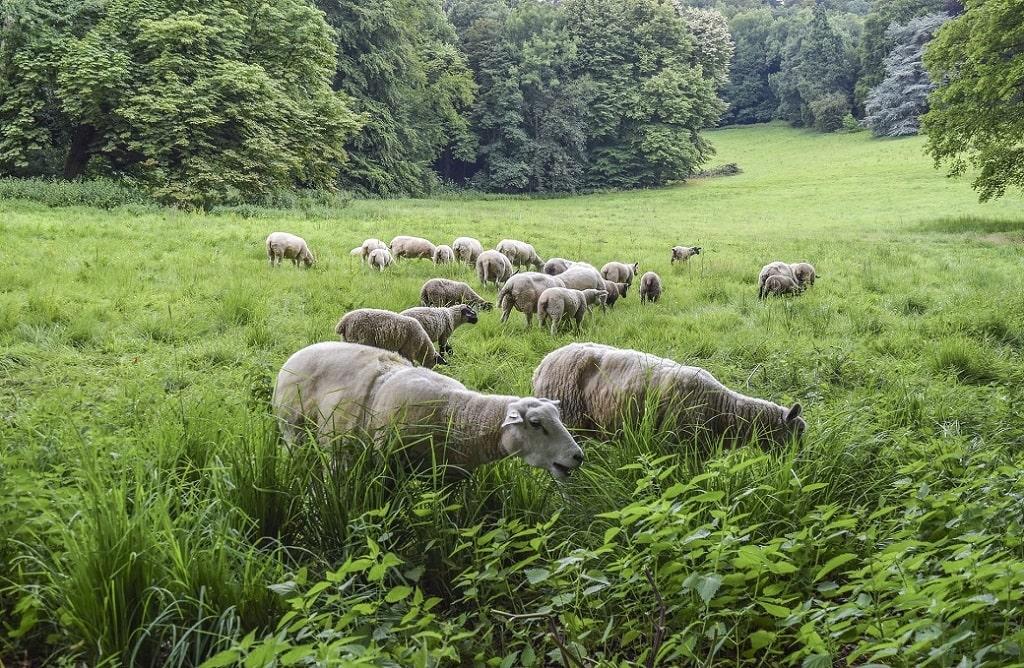 Troupeau de moutons dans l'herbe