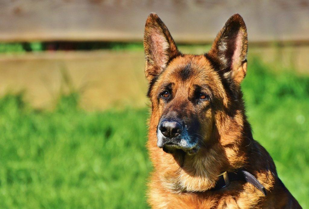 Avoir des chiens de garde pour faire fuir les cambrioleurs