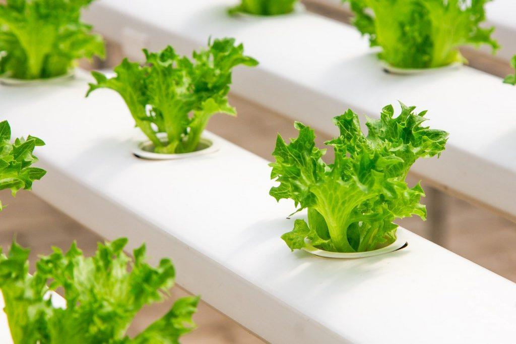 Les salades sont couramment cultivées en aquaponie et hydroponie