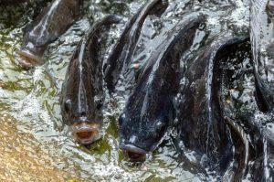 Les tilapias peuvent être élevés en aquaponie