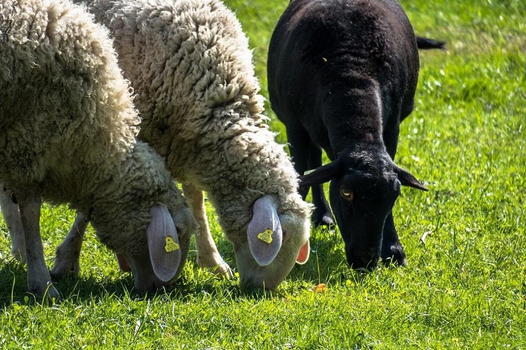 Mouton noir avec 2 moutons blancs