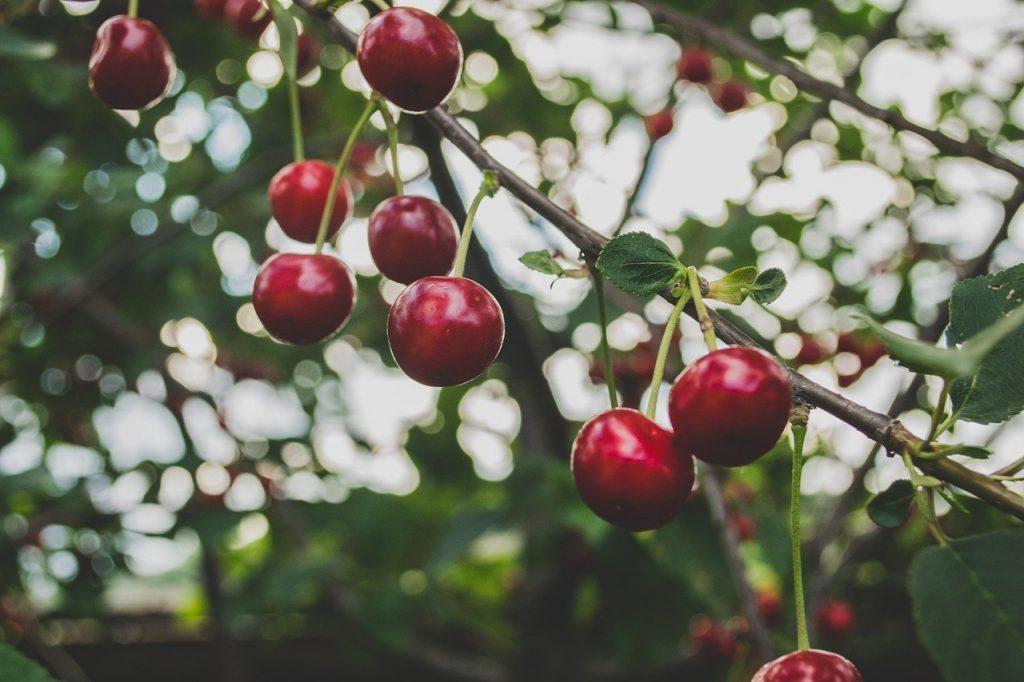 Nourriture naturelle: Les cerises
