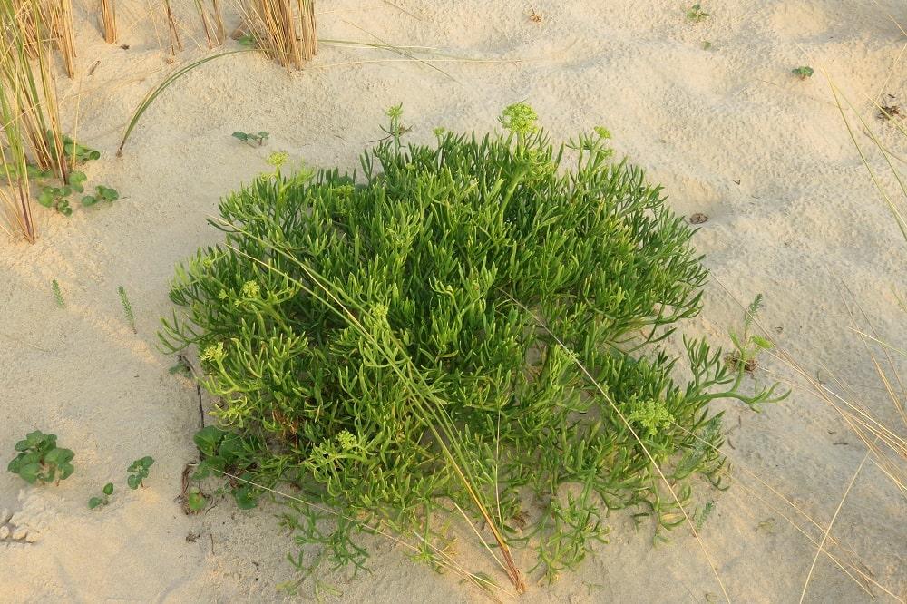 Criste marine Plante sauvage comestible en bord de mer